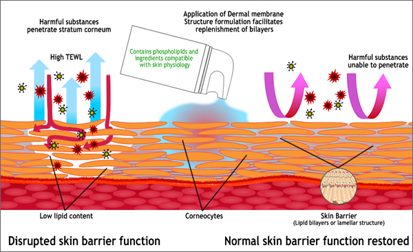 Derma membrane structure creams have a physical structure similar to the skin's barrier defense layers